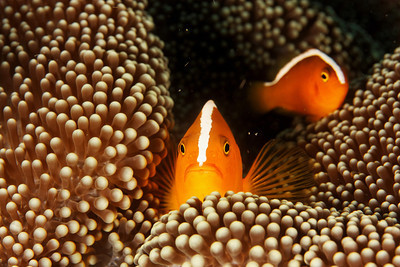 Amphiprion  sandaracinos - Skunk clown fish - Maratua, East Kalimantan, Borneo, Indonesia - July 2011