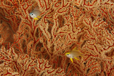 Damsels and gorgonian - Sangalaki, East Kalimantan, Borneo, Indonesia - July 2011
