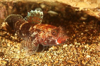 Gobius cruentatus