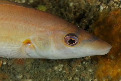 Labrus mixtus – Coquette femelle