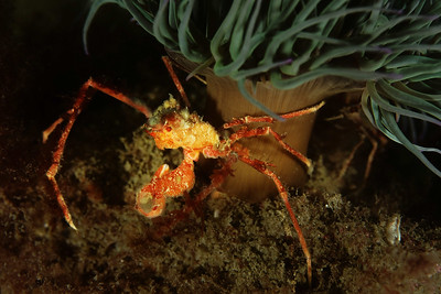 Anemone crab (Inachus)
