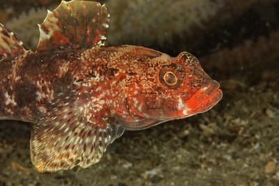 Gobie à lèvre rouge (Gobius cruentatus)