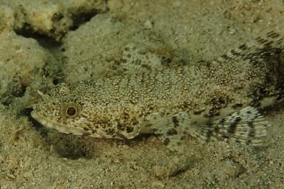 Saurida gracilis - Djibouti, November 2011