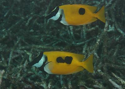 Siganus unimaculatus - Onespot rabbitfish