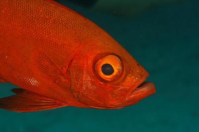 Big eye fish (Priacanthus hamrur) - Similan islands, Thailand
