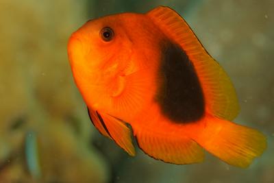 Amphiprion ephippium - Andaman Sea