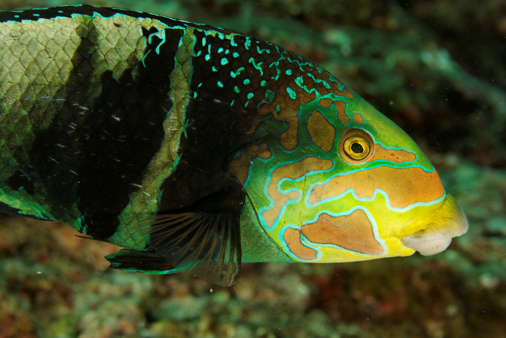 Hemigymnus fasciatus - Andaman Sea