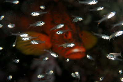 Ambush predator - Similan islands, Thailand, 2011