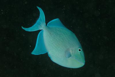 Odonus niger - Andaman Sea
