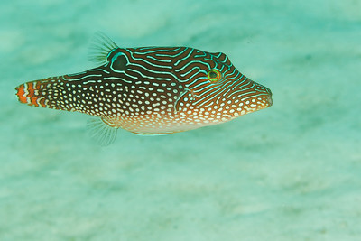 Canthigaster solandri - Andaman Sea