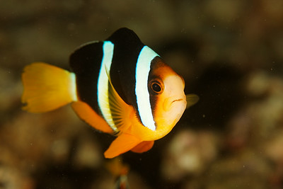 Amphiprion clarkii - Similan islands, Thailand, 2011