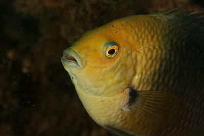 Reef fish - Andaman Sea