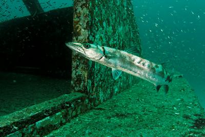 Sphyraena barrracuda - Andaman Sea