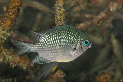 Amblyglyphidodon leucogaster - Andaman Sea