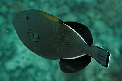 Melichtys indicus - Andaman Sea