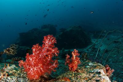 Soft coral - Andaman Sea