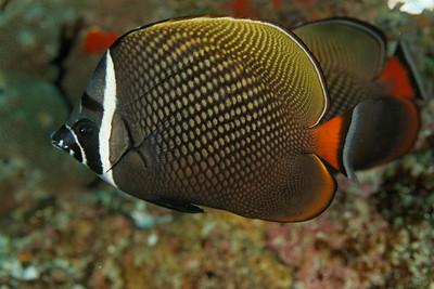 Chaetodon collare - Andaman Sea