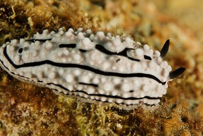 Phyllidiella zeylanica - Andaman Sea