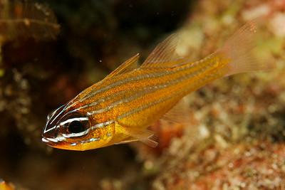 Cardinal fish (Apogon cyanosoma) - Similan islands, Thailand