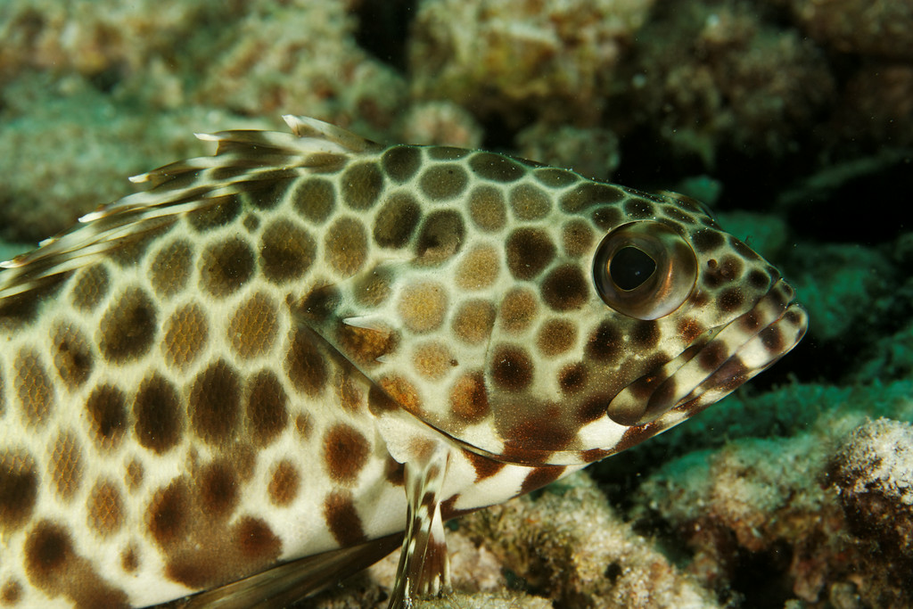 Epinephelus areolatus - Andaman Sea