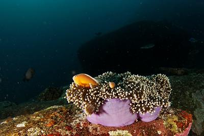 Clown fish - Similan islands, Thailand, 2011