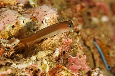 Ecsenius sp. - Andaman Sea