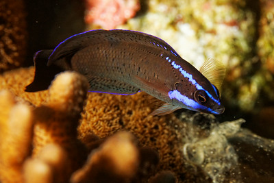 Pseudochromis springeri, Wrasse - Blue-stripped dottyback
