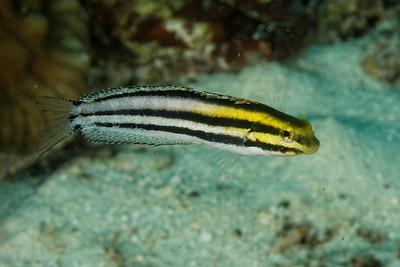 Petroscirtes breviceps