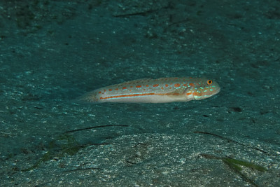Valenciennea puellaris - Orange spotted goby