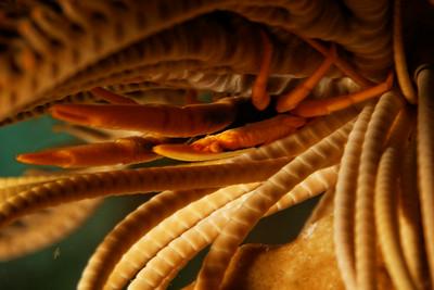 Allogalathea babai
