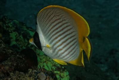 Chaetodon adiergastos - Panda buttferlyfish
