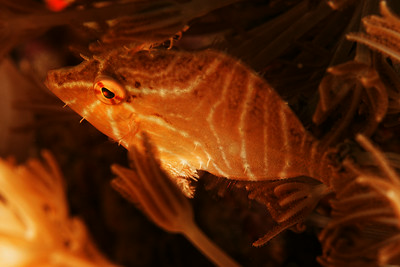 Acreichtlys radiatus