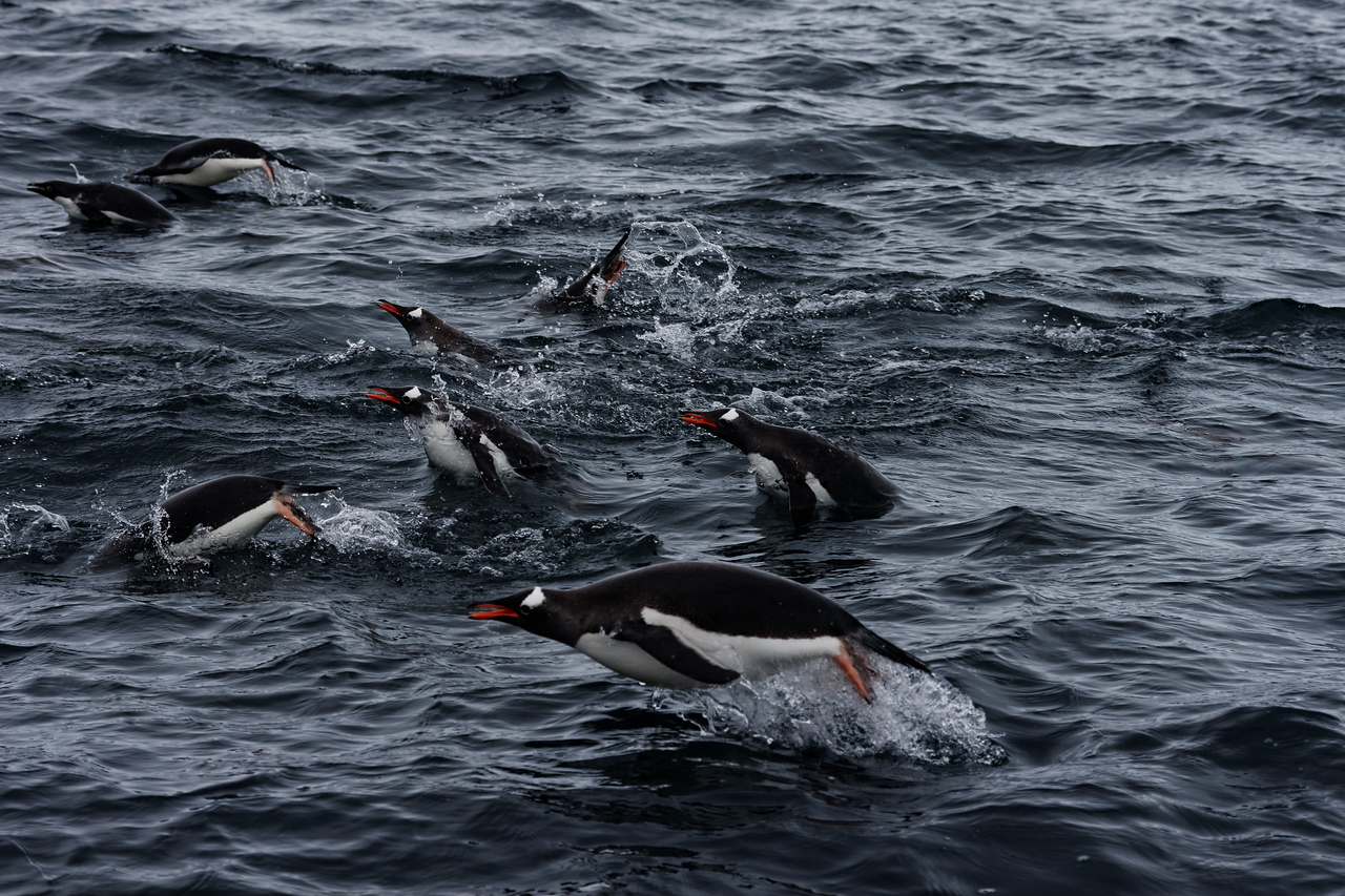 Pinguin playing