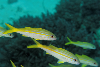 Mulloidichthys vanicolensis