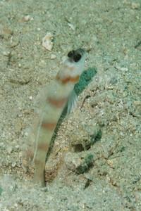 Amblyeleotris steinitzi