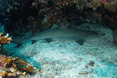 Triaenodon obesus - Whitetip Reef Shark