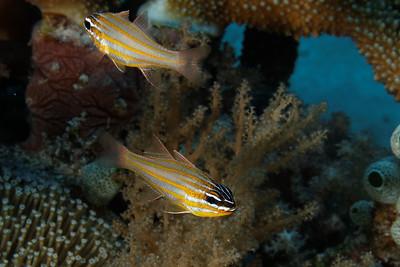 Apogon cyanosoma - Yellowstriped cardinalfish