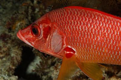 Sargocentron spiniferum - Sabre squirrelfish