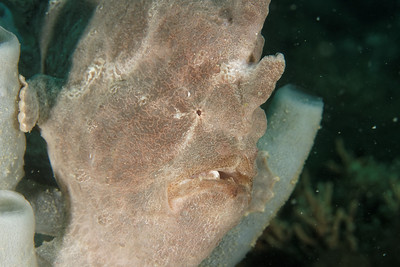 Antennarius commersoni