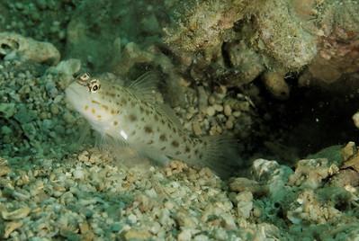 Ctenogobiops aurocingulus - Gold streaked shrimpgoby