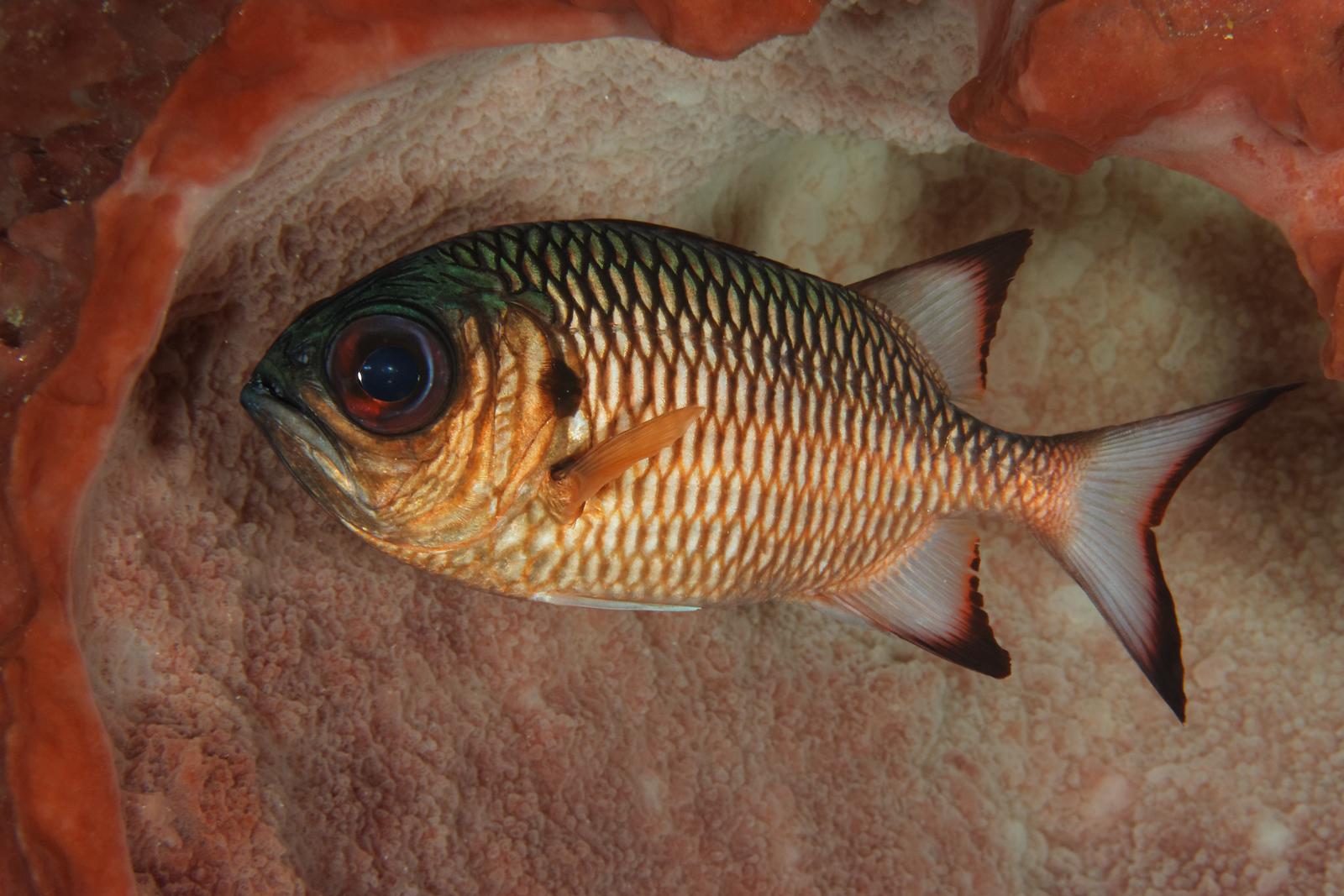 Myripristis adusta - Shadowfin soldier fish
