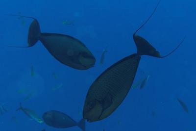 Naso vlaminghii - Bignose unicorn fish