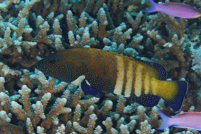 Cephalopholis argus - Peacock grouper - Pale phase