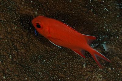 Myripristis vittata - Whitetip soldier fish