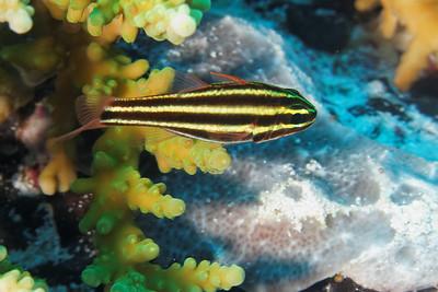 Apogon nigrofasciatus - Blackstripe cardinalfish