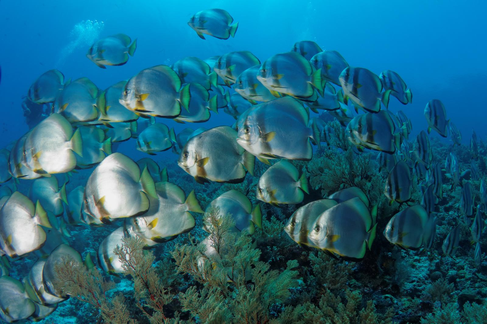 Platax teira - Batfish