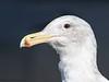 Glaucous-winged Gull portrait