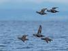 Harlequin Ducks in flight
