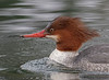 Common Merganser female portrait