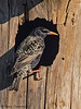 European Starling at nest hole